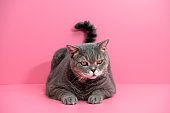 Obese cat sitting little pink room. British sort hair cat.