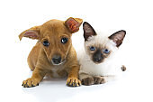 Frightened puppy Chihuahua and siames cat on white background.