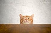 Big-eyed naughty cat looking at the target. British sort hair cat.