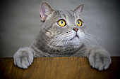 Big-eyed naughty obese cat is looking side. British sort hair cat.