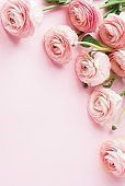 Flowers background . Pink flowers ranunkulus  on pale pink background. Top view. Copy space. Holiday concept
