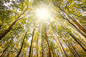 Sunshine through the tall trees of a deciduous forest on a beautiful fall day in Belgium.