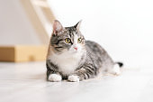 A young beautiful gray striped cat, a pet, is lying on a light floor indoors against a white wall.