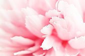 Closeup view of pink peony flower.