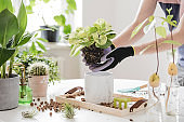 Home gardener transplanting plant in ceramic pots on the white wooden table. Concept of home garden. Spring time. Stylish interior with a lot of plants. Taking care of home plants. Template.