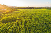 Aerial view of sugarcane plantation field with sunset light