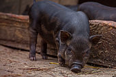 Little baby Black Pig in sty at farm