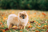 Young Red Puppy Pomeranian Spitz Puppy Dog Posing Outdoor In Autumn Grass