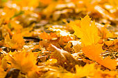 Yellow leaves on the ground. Autumn pattern with fallen leaves. Golden leaves in autumn park. Autumn loneliness. Blurred background