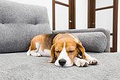 Beagle dog sleeping on couch