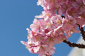 Kawazu cherry blossoms of old Nakagawa river Hirai, Edogawa city, Tokyo, Japan