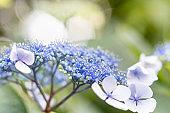 Hydrangea flower, Asukayama Park, Kita-city, Tokyo, Japan