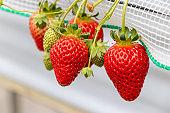 Greenhouse grown strawberries, Sanmu City, Chiba Prefecture, Naruto, Japan