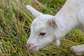 Baby of goat, Otaki town, Chiba prefecture, Japan