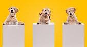 Golden retriever puppy dog with a banner