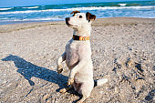 Jack russell terrier dog sitting on a sand on a beach. Spring time