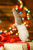 portrait of a rat with a gift on a new year background with bokeh