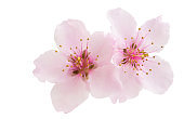 Sakura flowers isolated