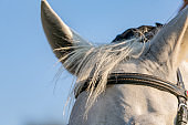 White horse's forehead