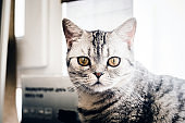 portrait of British grey cat
