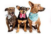 Three dogs sitting wearing bandanas