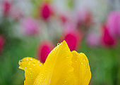 Close-up of a single yellow tulip flower with blurred background, flower spring wallpaper, selective focus, colorful tulips field, tulip with water droplets, raindrop