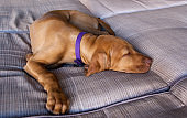 Portrait of an adorable little brown puppy vizsla and its foot sleeping comfortably and relaxed over a grey brown couch