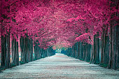 Pink tree tunnel in Korea