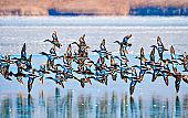 Flying ducks. Lake nature background. Duck: Northern Shoveler. Anas clypeata.