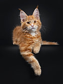 Majestic red tabby Maine Coon cat kitten on black
