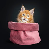 Gorgeous red Maine Coon kitten on black