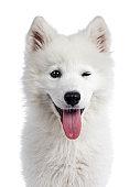 Samoyed puppy on white