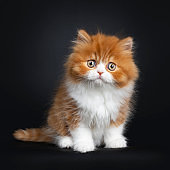 Red with white British Longhair kitten on black