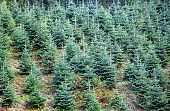 Norway. Spruce plants, Christmas tree