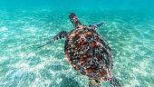 Sea turtle swims in sea water, Olive green sea turtle closeup. Wildlife of tropical coral reef, Aquatic animal underwater photo.