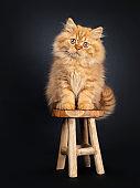 Fluffy red British Longhair kitten on black