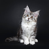 Cute black tabby with white Maine Coon cat kitten, sitting facing front. Looking straight at lens with brown eyes. Isolated on a black background. Tail beside body.