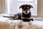Cute black and tan puppy is sitting on a white plaid near a window.
