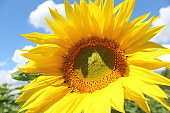 photo of a sunflower against the blue sky