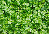 Coriander leaves of vegetables, herbs for cooking.