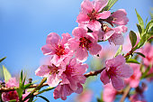 Pink peach tree blossoms on sunny spring day