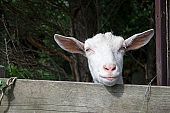 Funny face of goat in the farm. Countryside.