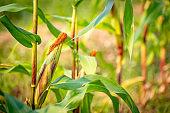 Organic corn or maize in field farm
