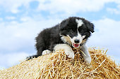 A cute puppy is posing