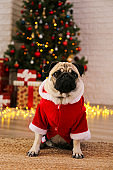Beloved domestic pet over traditional holiday symbols.