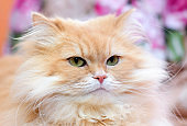 Portrait of fluffy red cat