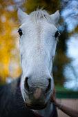 White horse close-up