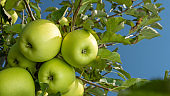 large ripe apples clusters hanging heap on a tree branch in an intense apple orchard