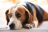 The beagle dog is sitting and watching something in front of it