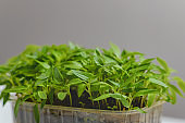 Young green shoots of sweet pepper with juicy leaves. Seedlings of bell pepper
